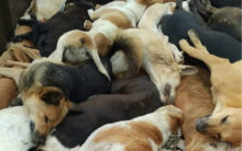 Hyderabad: 150 dogs poisoned and few buried alive