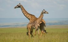 Dark coloured giraffes less friendly: Study