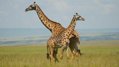 Photo of Dark coloured giraffes less friendly: Study