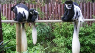 Photo of Study finds leaf-eating Asian monkeys do not have a sweet tooth