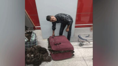 Photo of Delhi: One arrested at IGI Airport with 49 kg peacock feathers