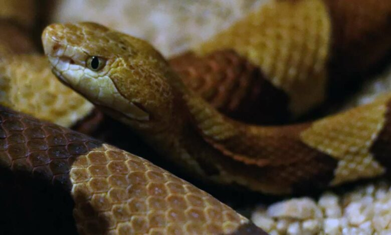 Snake visits Hyd Police Commissioner's house, now behind bars