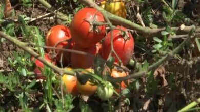 Photo of Hybrid seed varieties augment vegetable cultivation in J-K