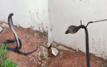 Hyderabad: Black Cobra rescued in Kowkoor