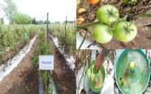 TS: Scientists develop IPM method to combat tomato pest