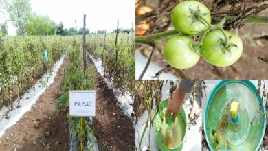 Photo of TS: Scientists develop IPM method to combat tomato pest