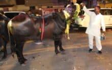 Bulls participates In Sadar Festival at Narayanguda In Hyderabad