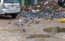Hyderabad: 500 pigeons of Moazzam Jahi released in Srisailam