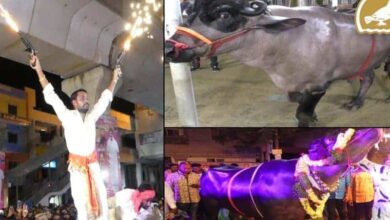 Photo of Diwali celebrations climax with best bullocks show in Hyderabad