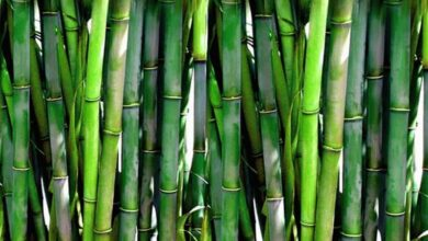 Photo of Here's how bamboo tapping helps in warding off body pain