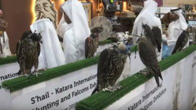 Photo of Spanish falcons feed Arab passion