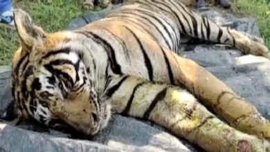 Photo of Last rites of 3-yr-old tiger conducted in Sawai Madhopur