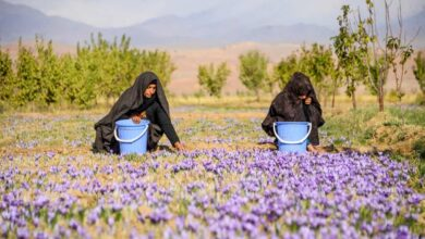 Photo of Saffron flowers in Herat