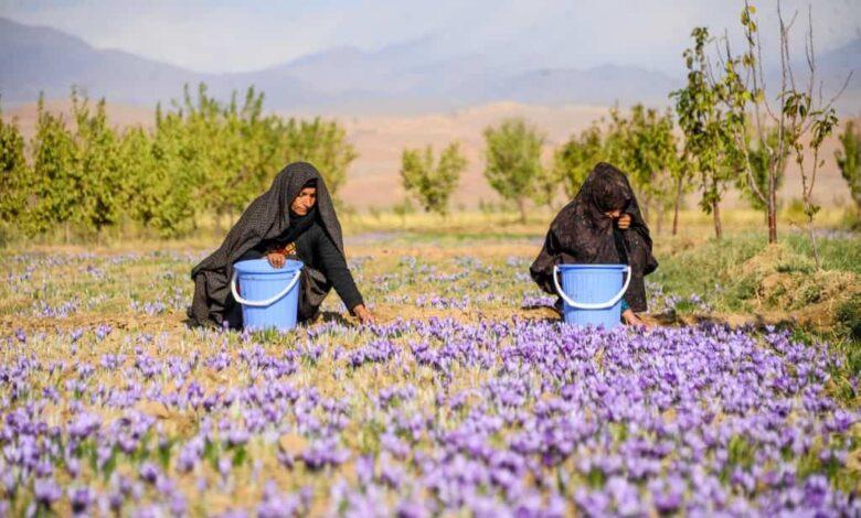 Saffron flowers in Herat