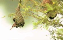 Playboy bird Baya has safe haven near Hyderabad