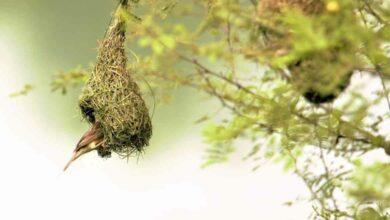 Photo of Playboy bird Baya has safe haven near Hyderabad
