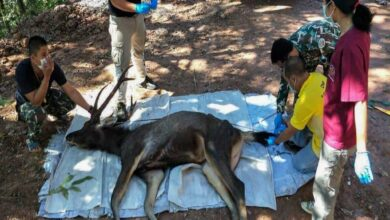 Photo of Dead deer found in Thailand with 7kg of plastic in stomach