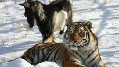 Photo of Russian goat who made unlikely friends with tiger dies