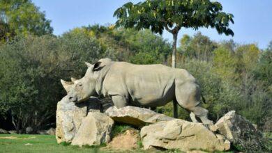 Sana, world's oldest captive white rhino dies in French zoo