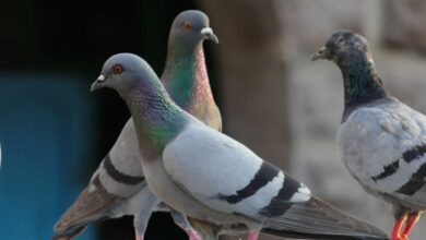 Photo of Hyderabad–City of Pearls or City of Pigeons?