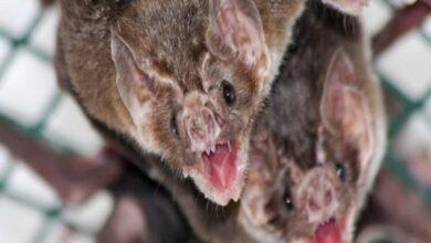 Photo of Study says vampire bats keep friends they made in captivity