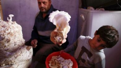 Photo of Displaced Syrian grows mushrooms to feed family