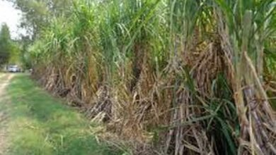 Photo of UP govt to monitor sugar cane price payment on daily basis