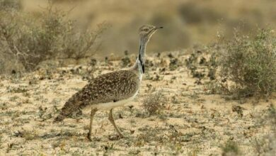 Photo of Pak issues permit to Qatar royals to hunt protected bird
