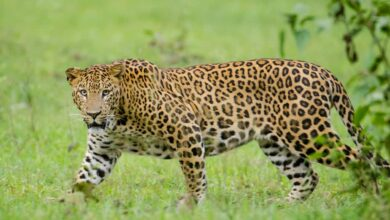 Photo of Leopard on the prowl in Telangana district; kills cattle