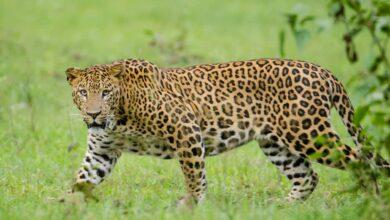 Photo of Hyderabad: Operation still underway to catch leopard