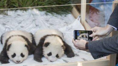 Photo of Boy oh boy! Twin male pandas charm Berlin zoo