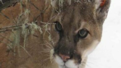 Photo of Three mountain lions shot in US after feeding on human remains