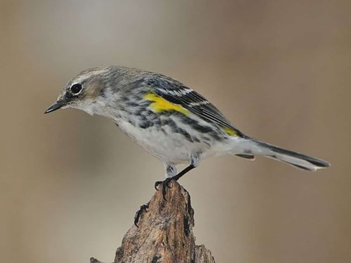 Scientists discover 10 new bird taxa