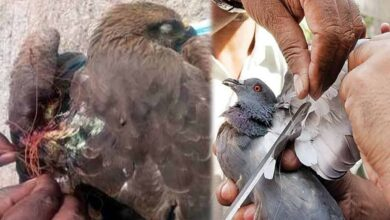 Photo of Chinese Manja used by kite flyers a major threat to birds