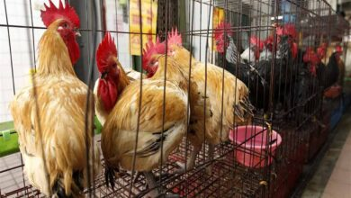 Photo of Bird flu outbreak detected in third Japanese prefecture