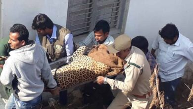 Photo of Telangana Forest officials catch panther in Shadnagar