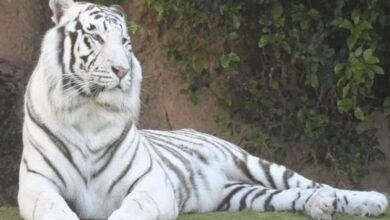 Photo of White tigress gives birth to two cubs in Nandankanan Zoo