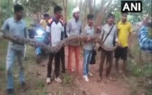 Six pythons rescued in Odisha's Dhenkanal