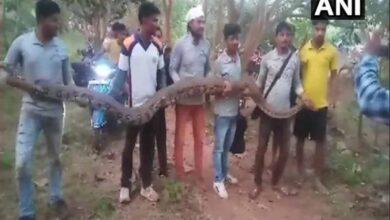 Photo of Six pythons rescued in Odisha's Dhenkanal