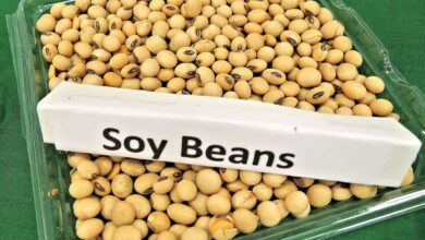 Photo of Soybean oil diet may trigger genetic changes in brain