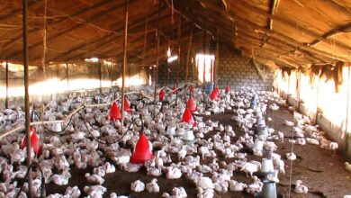 Photo of Vietnam culls poultry in large numbers amid bird flu spread