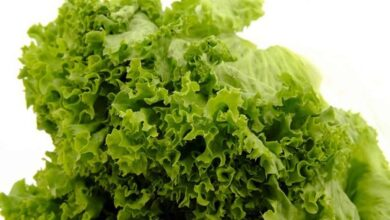 Photo of Genetically tweaked lettuce to aid bone fracture healing