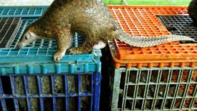 Photo of Nearly 900,000 pangolins trafficked worldwide: watchdog