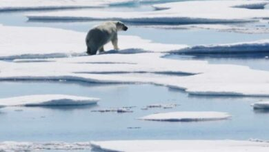 Photo of Impact of climate change: Cannibalism on rise among polar bears