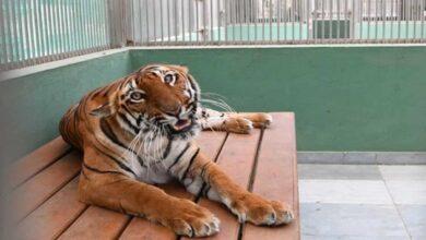 Photo of Mumbai Zoo gets tiger, tigress under animal exchange programme