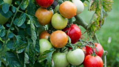 Photo of France confirms first case of ruinous tomato virus