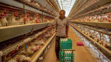 Photo of False rumours: Farmer dumps Rs. 5.8 cr worth poultry products
