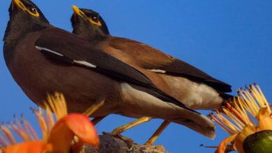 Photo of Standalone: Myna on Cotton tree