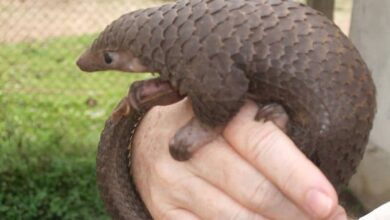 Photo of Smuggled Pangolins in China found to carry Corona related strains