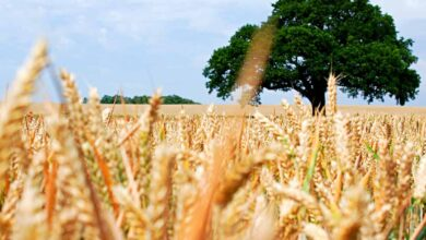 Photo of Wheat worth Rs 607 crore damaged in Punjab: CAG